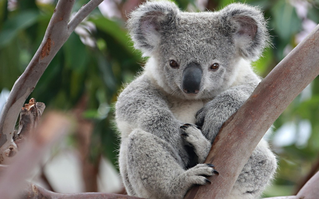 Kallangur Community Koalas